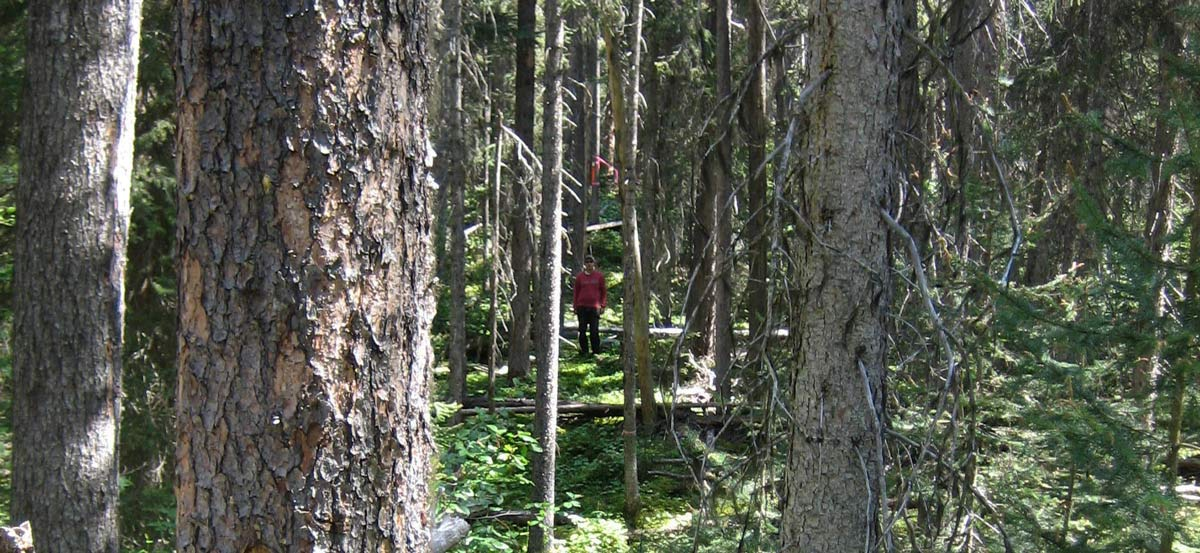 Ecofor worker in forest near Mount Milligan