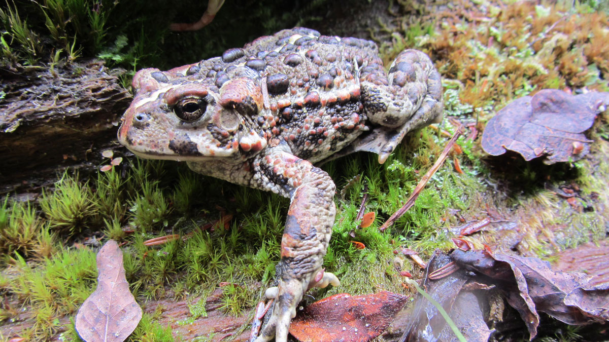 Western Toad Pacific Trails Pipeline